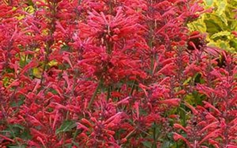 Kudos Coral Hyssop 1 Gallon Perennial Perennial Plants