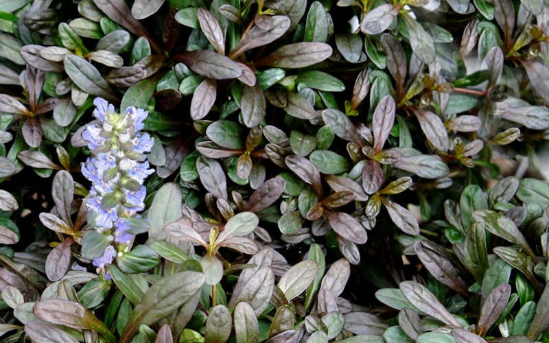 ajuga chocolate chip bugleweed   count flat of pint pots, Natural flower