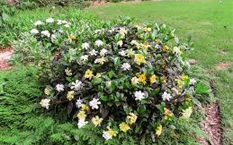 August Beauty Gardenia Photo 3