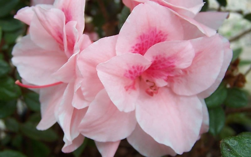 Autumn Belle Encore Azalea - 1 Gallon - Shrubs for Spring Color