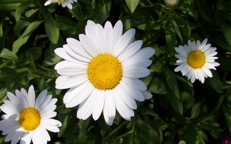Becky Shasta Daisy Photo 2