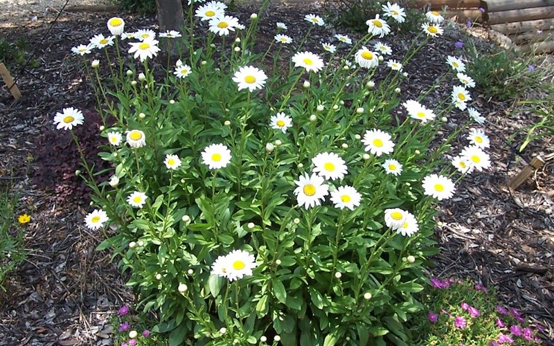 Becky Shasta Daisy Photo 3