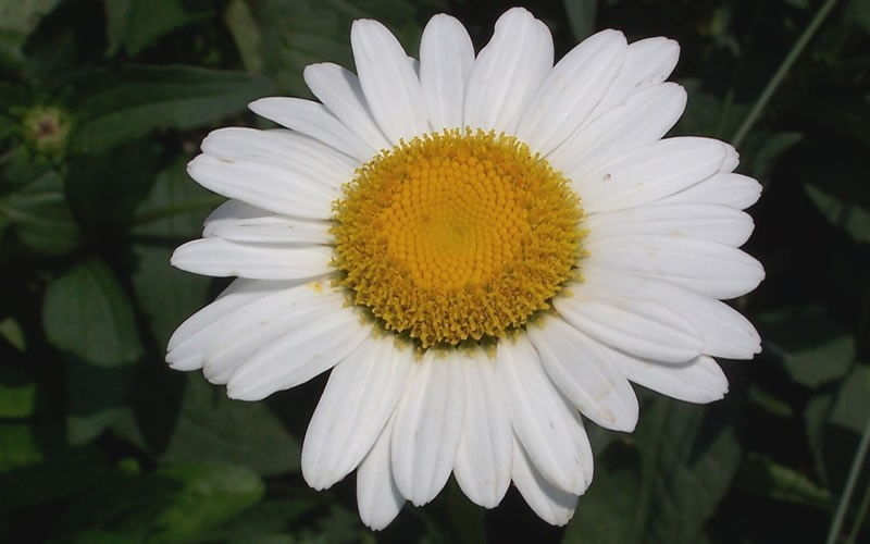 Becky Shasta Daisy Photo 4
