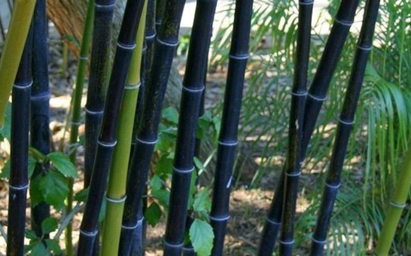Black Bamboo - 2 Gallon - Bamboo Plants - Ornamental