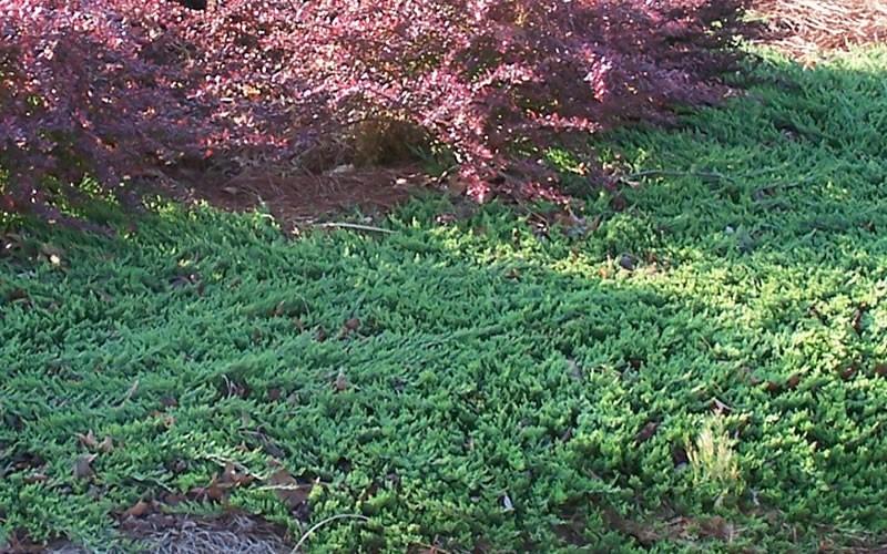 Blue Rug Juniper 2 5 Quart Junipers