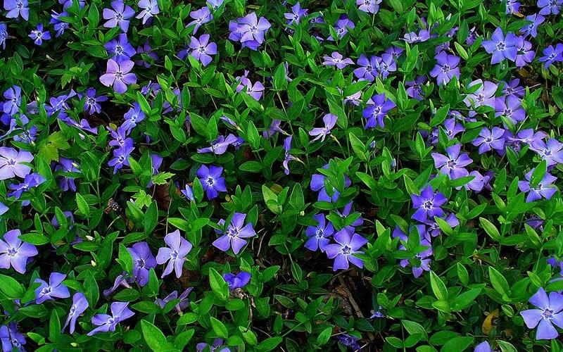 Bowles Evergreen Periwinkle Photo 2