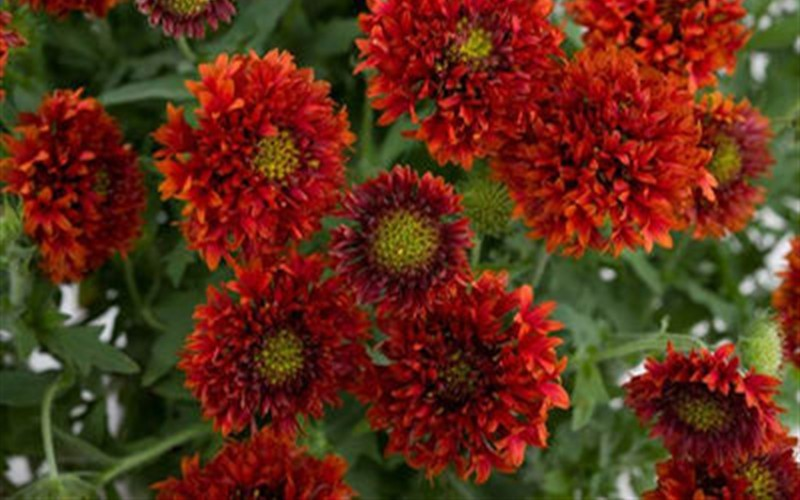 Bright red blanket flower 3 count flat of pint pots perennial bright red blanket flower 3 count flat of pint pots perennials for spring color mightylinksfo