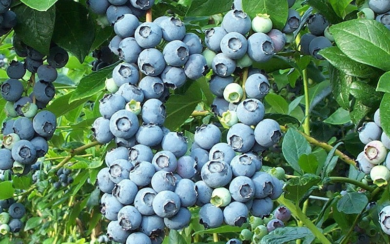 Brightwell Rabbiteye Blueberry - 1 Gallon - Blueberry Bushes - Rabbiteye