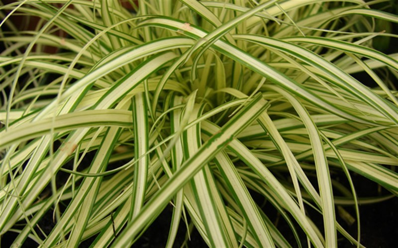 carex evergold japanese sedge 1 gallon ornamental grass perennial grasses ornamental. Black Bedroom Furniture Sets. Home Design Ideas