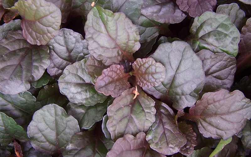 Catlins Giant Bugleweed - 10 count flat of 4