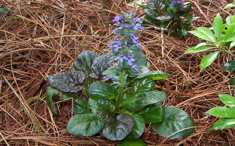 Catlins Giant Bugleweed Photo 2