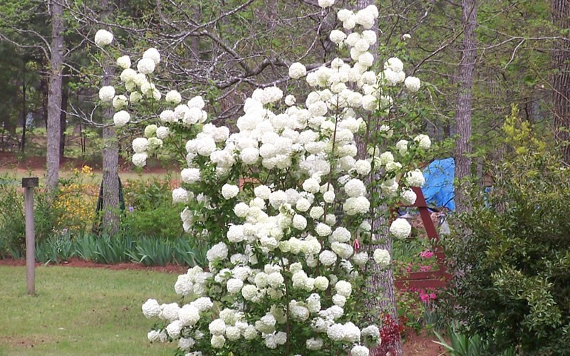 Viburnum Shrubs For Shade