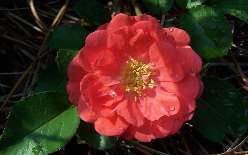 Roses In Garden: Shrub, Groundcover, Rose