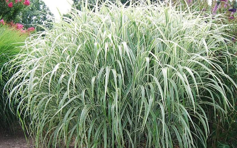 Cosmopolitan miscanthus 3 gallon pot ornamental grass for Tall ornamental grasses for pots