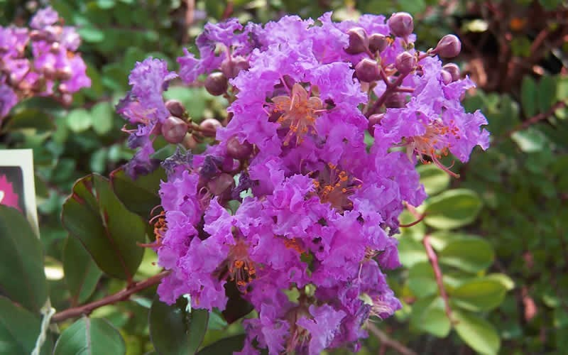 Early Bird Purple Crape Myrtle - 2 Gallon - Shrubs for Summer Color