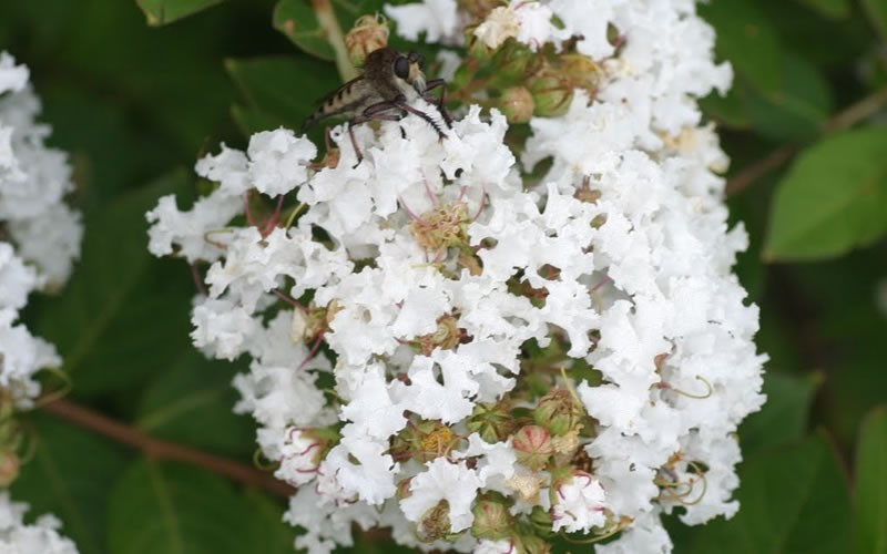 Early Bird White Crape Myrtle - 2 Gallon - Dwarf Crape Myrtle