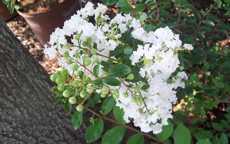 Early Bird White Crape Myrtle Photo 2