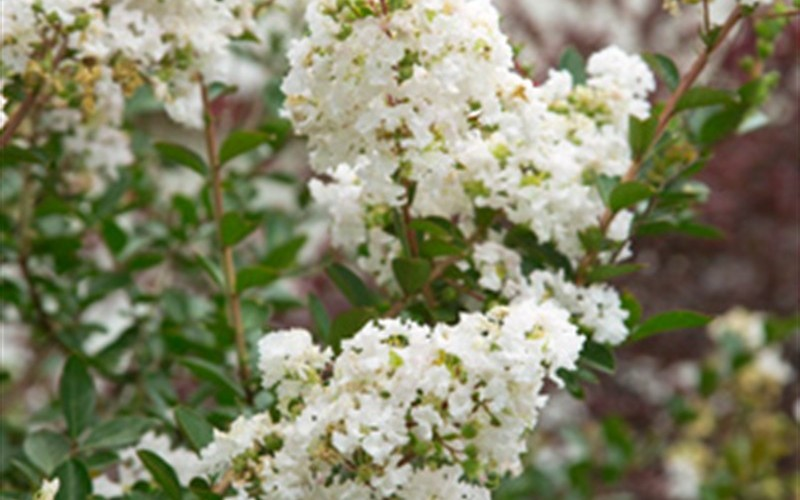 Early Bird White Crape Myrtle Photo 3