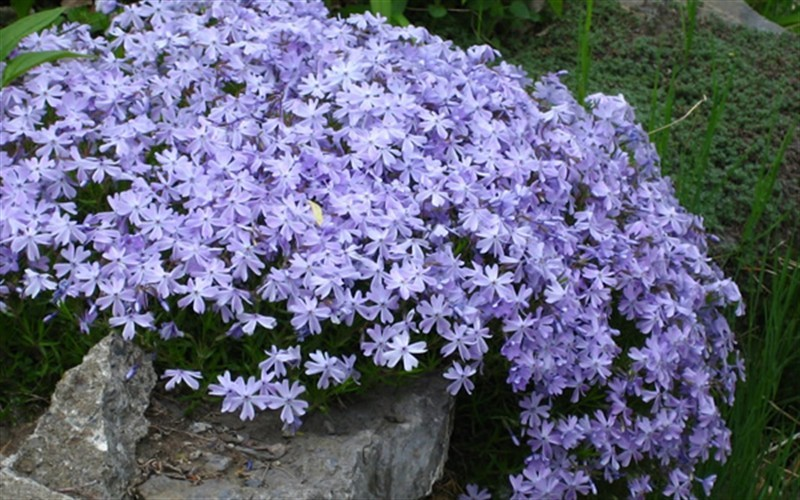 Ground Handling Charges : Emerald blue creeping phlox gallon groundcover
