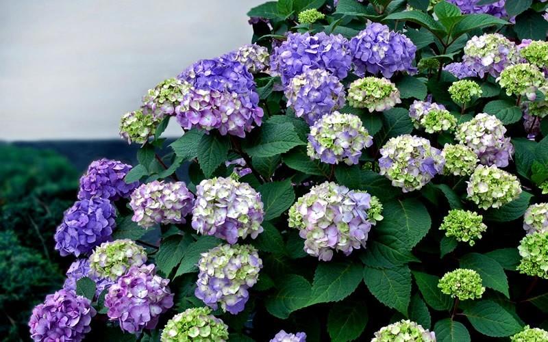 Endless Summer BloomStruck Hydrangea - 1 Gallon - Shrub, Perennial ...