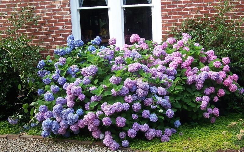 the original endless summer hydrangea 3 gallon shrub. Black Bedroom Furniture Sets. Home Design Ideas