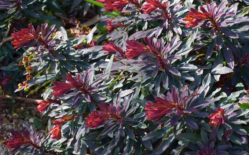 Ruby Glow Wood Spurge ... Euphorbia Amygdaloides Ruby Glow