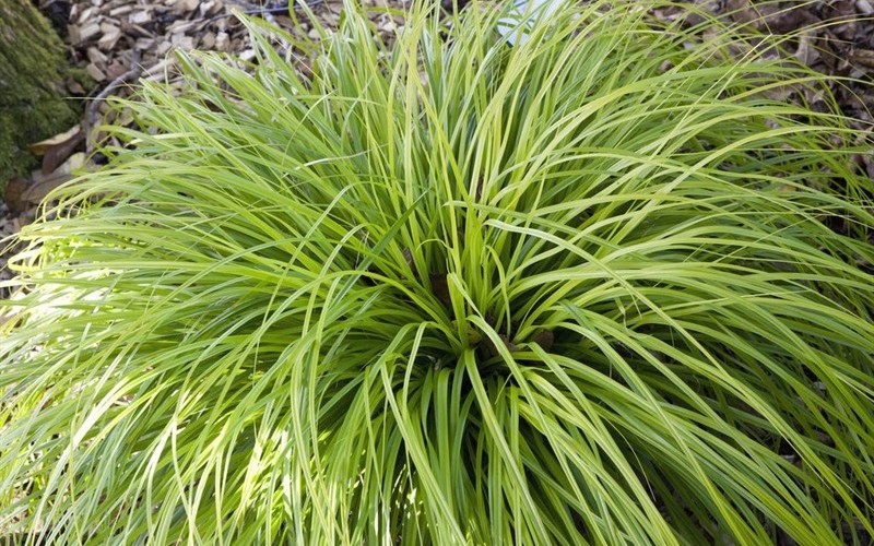 Everillo Carex - 2.5 Quart - Grasses - Ornamental