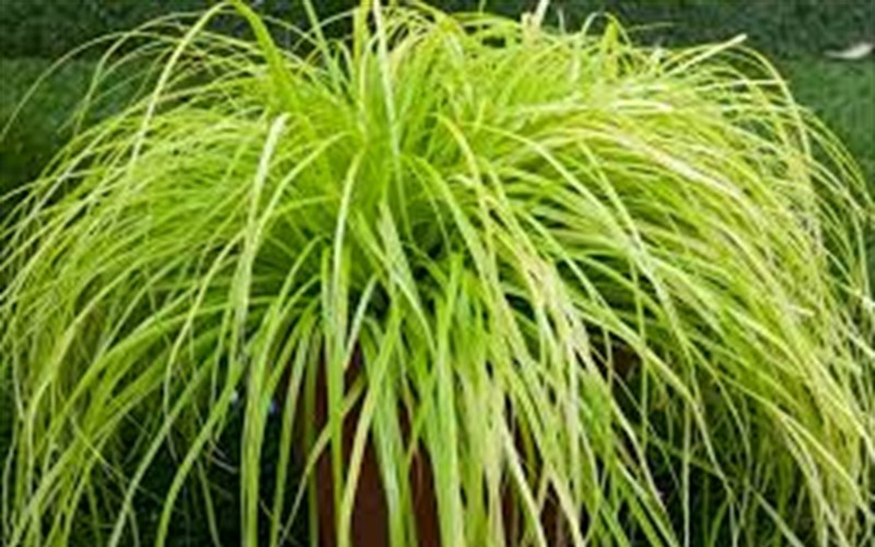 Everillo Carex Photo 2