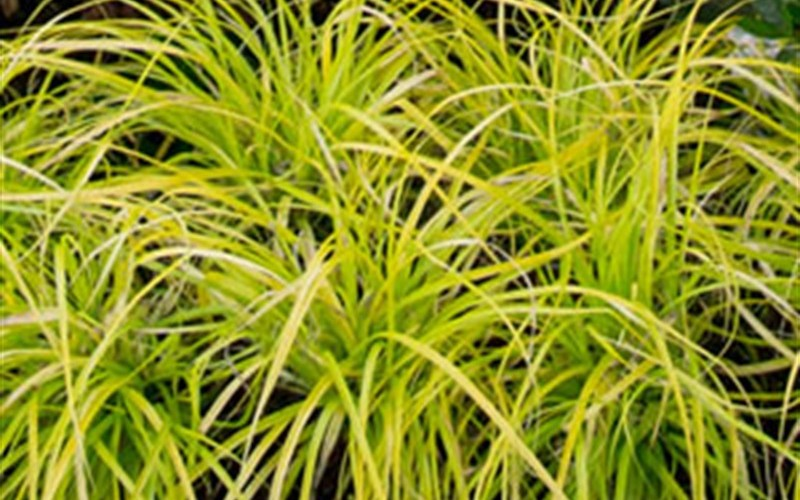 Everillo Carex Photo 3