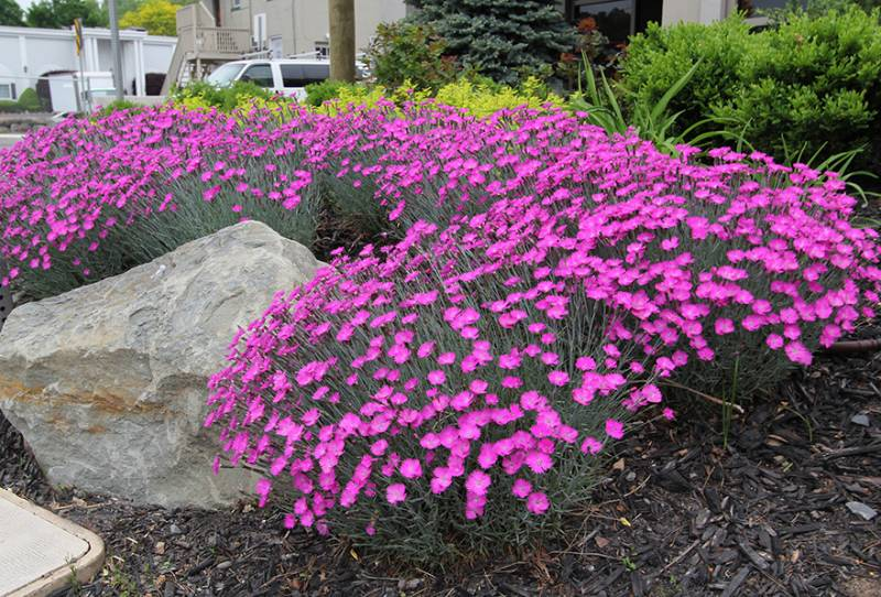 Firewitch Dianthus 1 Gallon Groundcover Perennial