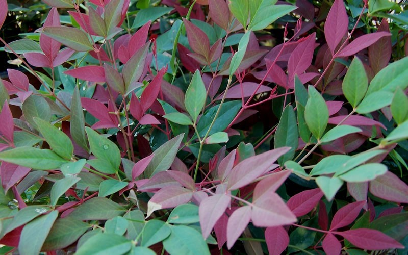 Flirt Dwarf Nandina Photo 4