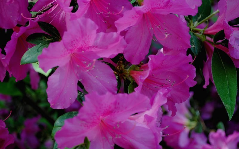 Formosa Southern Indica Azalea - 3 Gallon - Hedge or Screen Shrubs