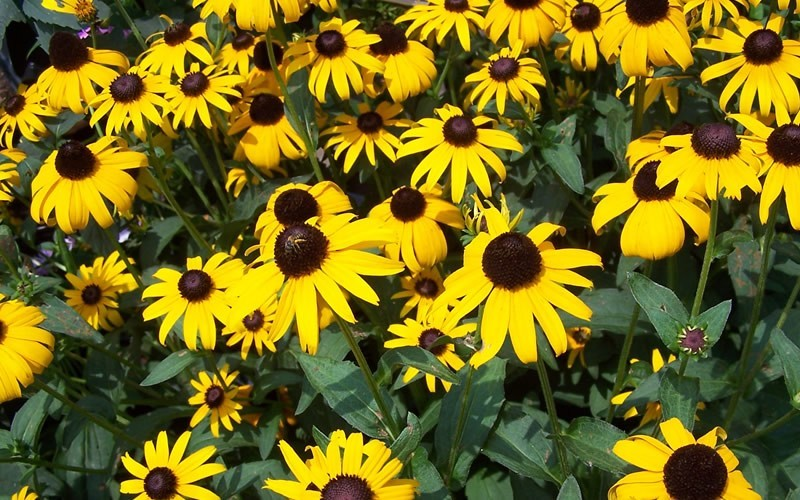 Black eyed susan 1 gallon wild flower perennial long blooming black eyed susan photo 2 mightylinksfo