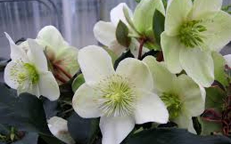 Helleborus Gold Collection 'Maestro' Photo 1