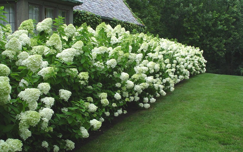 limelight hydrangea hydrangea paniculata 39 limelight 39 2 gallon shrub flowering shrubs. Black Bedroom Furniture Sets. Home Design Ideas