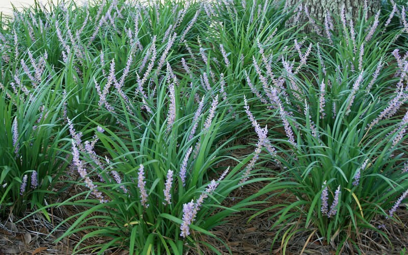 Big Blue Monkey Grass - 1 Gallon - Deer Resistant Groundcover Plants