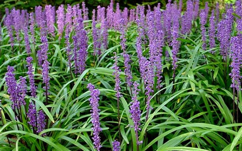 Royal Purple Liriope Photo 1