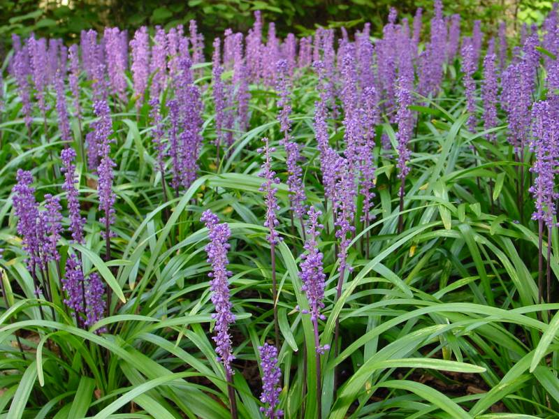 Royal purple liriope 18 count flats of 3 5 pots for Purple ornamental grass