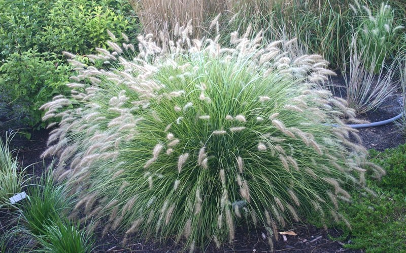 little bunny dwarf fountain grass 1 gallon ornamental