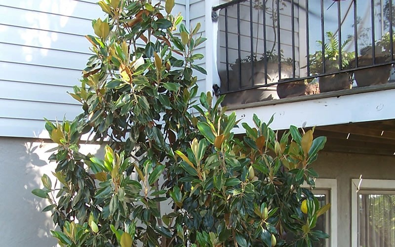 Little Gem Dwarf Southern Magnolia Photo 4