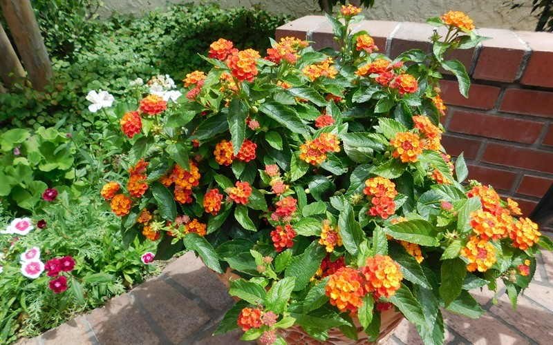 Little lucky red lantana 25 quart annual bedding perennial little lucky red lantana 25 quart perennial plants mightylinksfo Image collections