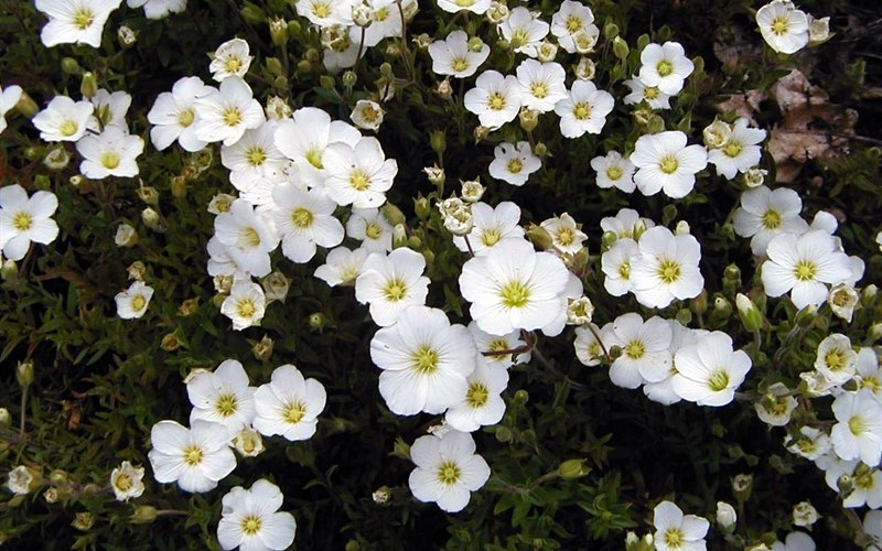 Mountain Sandwort - 3 Count Flat of Pint Pots - New Arrivlas In 2018