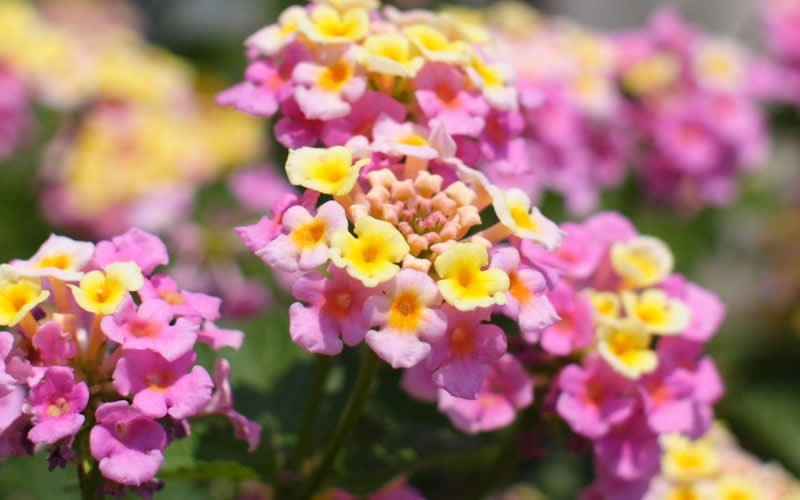 Mozelle hardy lantana 1 gallon shrub perennial perennials for attracting hummingbirds - Tough perennial bloomers drought insect and pest resistant flowers ...