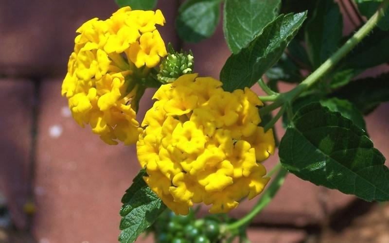 New gold hardy lantana 1 gallon groundcover perennial new gold hardy lantana 1 gallon tropical plants flowering mightylinksfo