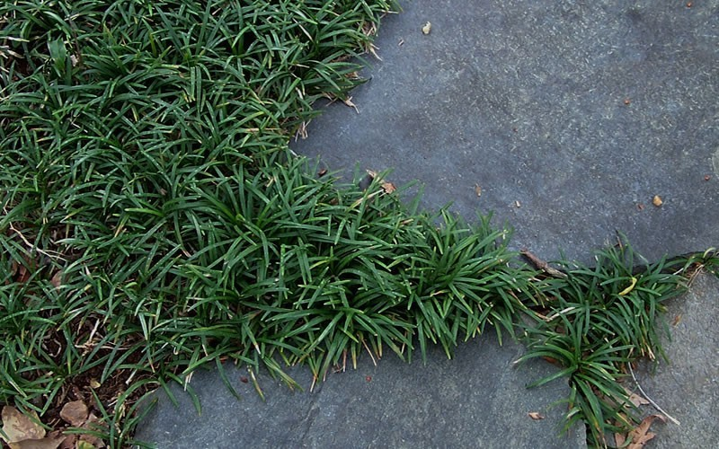 Dwarf Mondo Grass - 1 Gallon - Ophiopogon - Mondo Grass