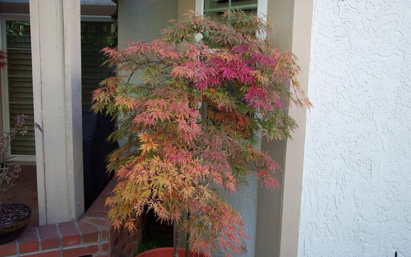 Orangeola Japanese Maple Photo 2