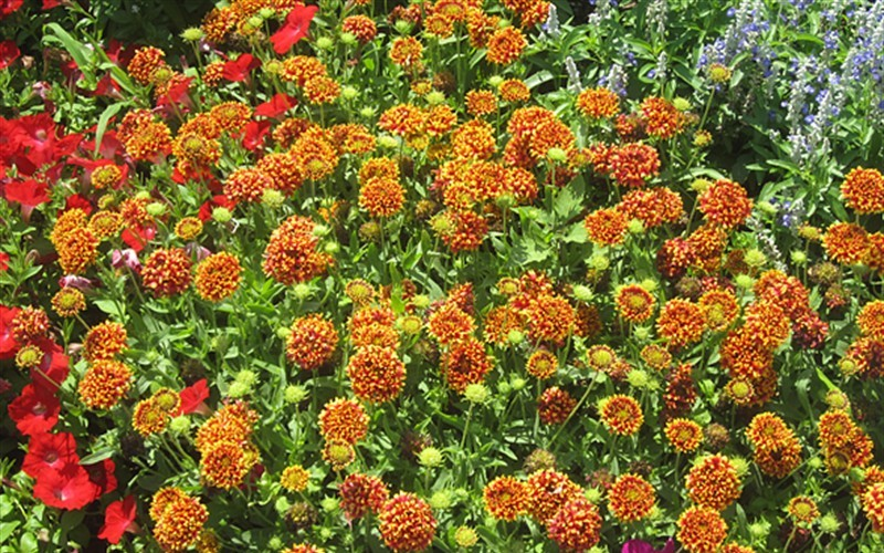 Peach blanket flower 3 count flat of pint pots perennial peach blanket flower 3 count flat of pint pots perennials for spring color mightylinksfo