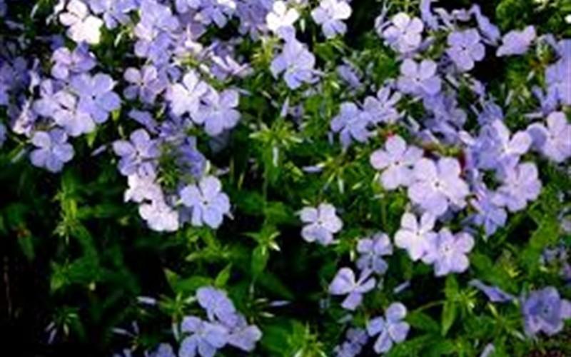 Blue moon woodland phlox 1 gallon shrub herb biennial blue moon woodland phlox 1 gallon perennial plants mightylinksfo