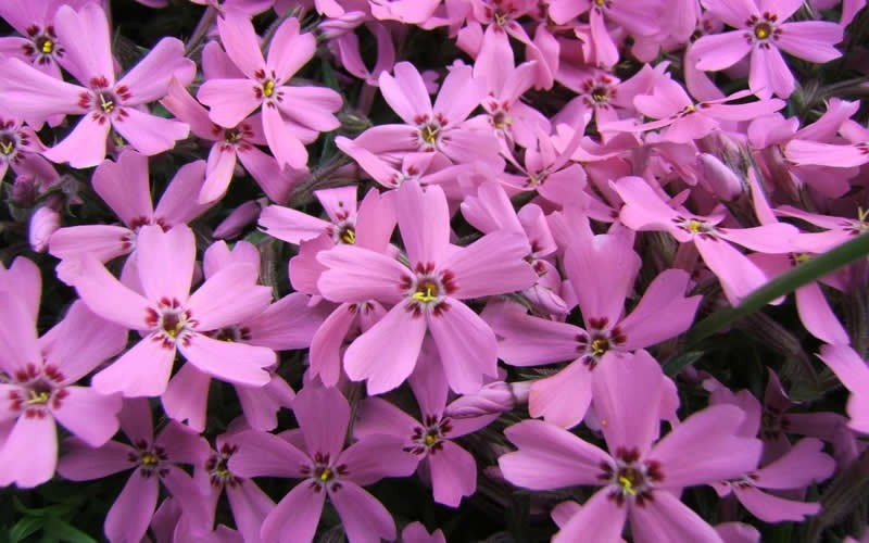 Pink Creeping Phlox 100 Count Flat Of Pint Pots Groundcover Perennial Xeriscaping