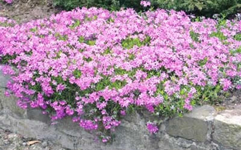Pink Creeping Phlox - 3 Count Flat of Pint Pots ...